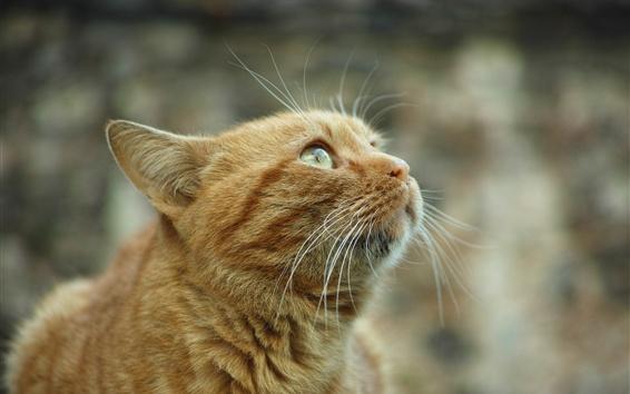 Обои Оранжевая кошка смотрит вверх, любопытство