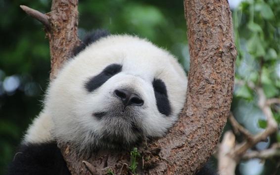 Wallpaper Panda sleeping in tree
