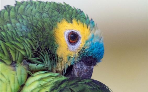 Wallpaper Parrot, colors feathers, beak, eyes