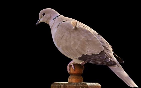 Papéis de Parede Pigeon close-up, pássaro, fundo preto