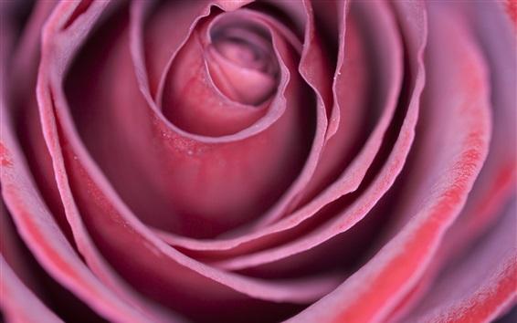 Wallpaper Pink rose, bud, petals, macro photography