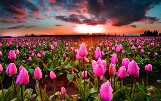 Papéis de Parede Campo de tulipas cor-de-rosa, por do sol, anoitecer
