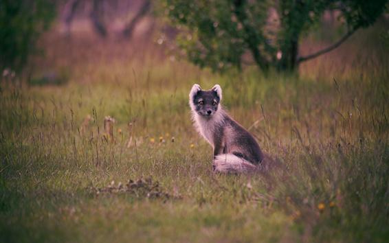 Papéis de Parede Polar Fox, grama