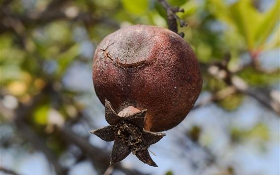 배경 화면 석류 나무, 잘 익은 과일