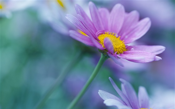 Wallpaper Purple petals flowers, blurry