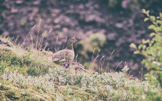 Fond d'écran Caille dans l'herbe, gros plan d'oiseau