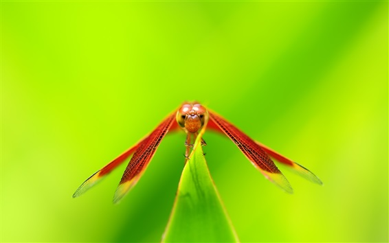 Wallpaper Red dragonfly rest, wings, green background