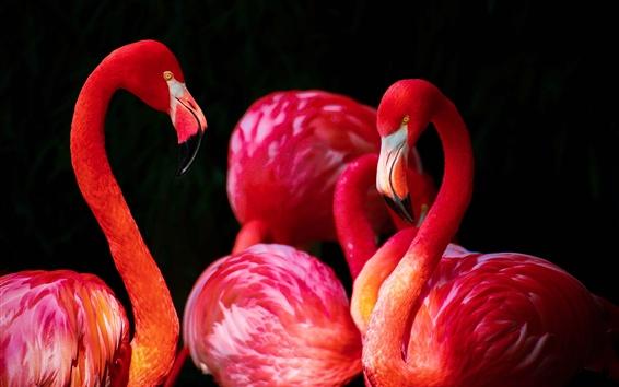 Fondos de pantalla Pájaro de pluma roja, flamenco, fondo negro