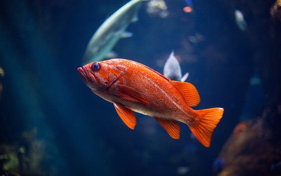Redfish Underwater Wallpaper Bigking Keywords And Pictures