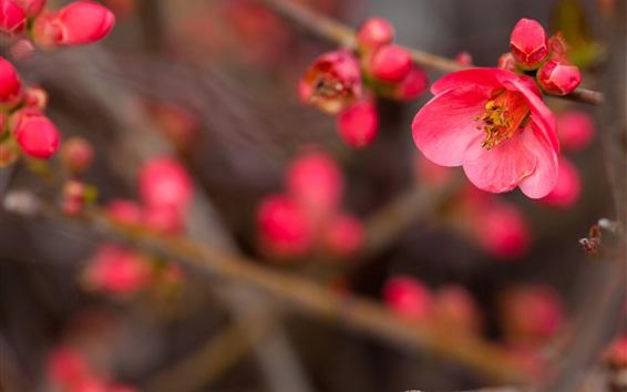 Fond d'écran Gros plan de fleurs rouges, brindilles, pruneau