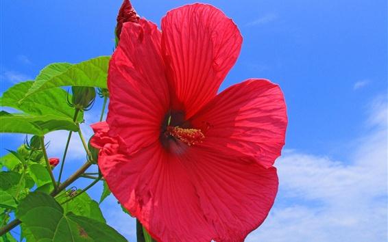 Wallpaper Red hibiscus flower, blue sky