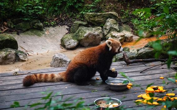 Обои Красная панда, еда, зоопарк