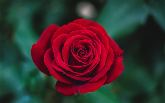 Wallpaper Red rose close-up, petals, bokeh