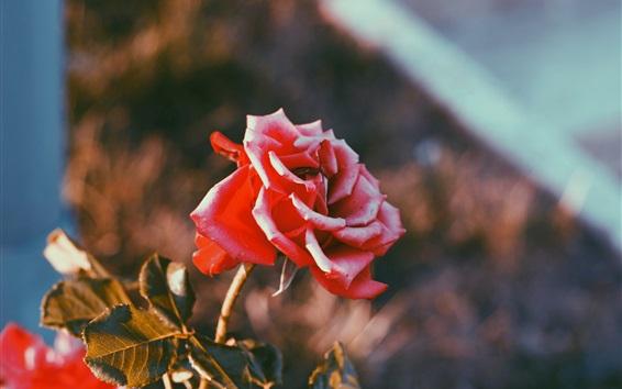 Wallpaper Red rose, sunlight