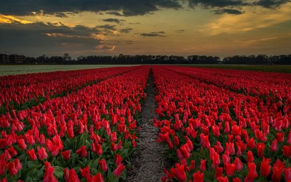 Wallpaper Red tulips field, dusk