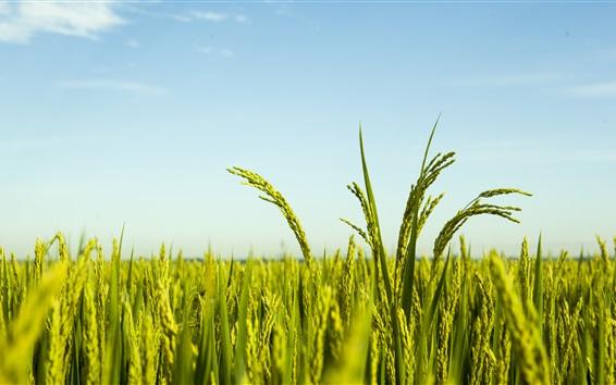 Fondos de pantalla Campo de arroz, cielo azul