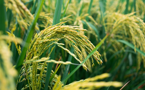 Fond d'écran Champ de riz, grain