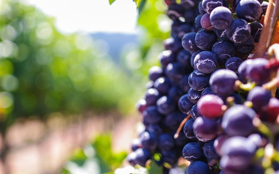 Fondos de pantalla Maduras uvas púrpura, la fruta