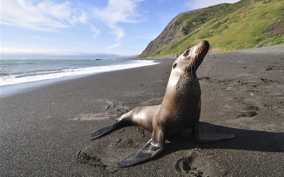Hintergrundbilder Seetiere, Siegel, Strand, Meer