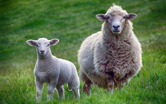 Обои Овцы в траве, матери и ребенке