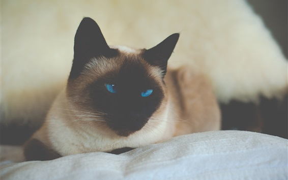 Papéis de Parede Gato Siamês, olhos azuis