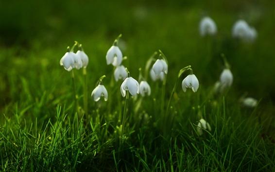 Papéis de Parede Snowdrops, grama verde