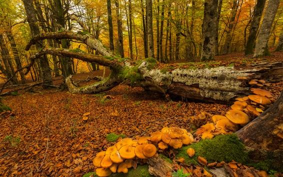배경 화면 스페인, 바스크 지방의 가을, 나무, 이끼, 버섯