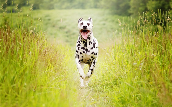 Wallpaper Spotted dog running, summer, grass