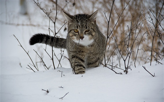 Wallpaper Striped cat walking in the snow, winter