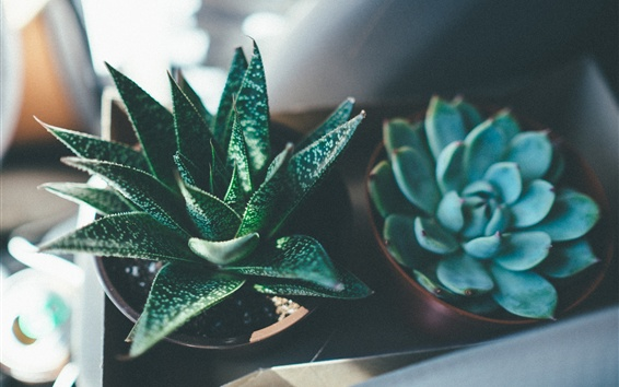 Wallpaper Succulents, houseplants