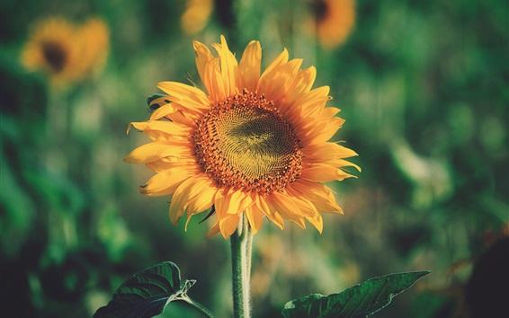 Wallpaper Sunflower close-up, yellow petals, summer flowers