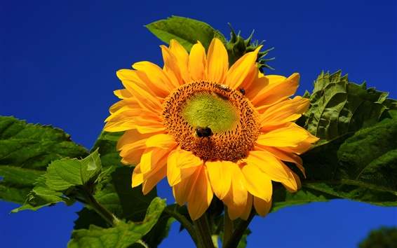 Обои Фотография подсолнечника, пчела, голубое небо
