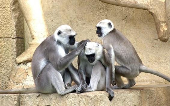 Wallpaper Three monkeys, zoo