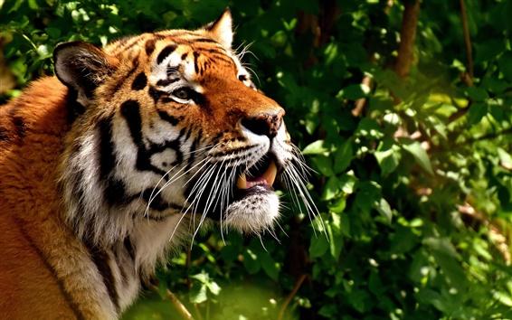 Обои Тигр, лицо, зубы, большая кошка
