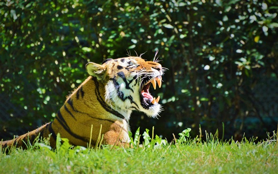 Papéis de Parede Sorriso de tigre, dentes, grama