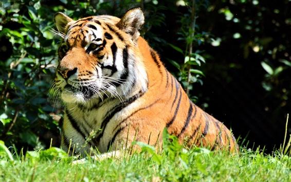 Обои Тигр отдыха, большой кот, трава