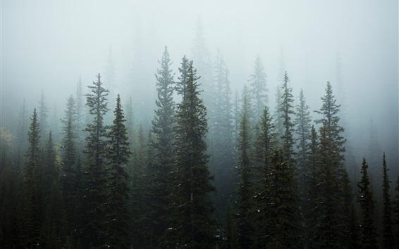 Fond d'écran Arbres, forêt, brouillard, matin, neige