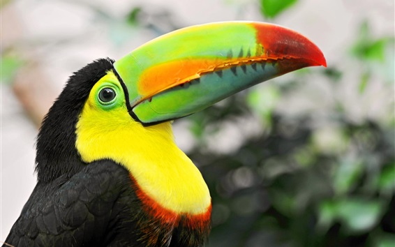 Papéis de Parede Pássaros tropicais, toucan, coloridos