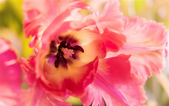 Wallpaper Tulip macro photography, pink petals, pistil