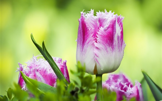 Wallpaper Tulips, pink white petals, green background