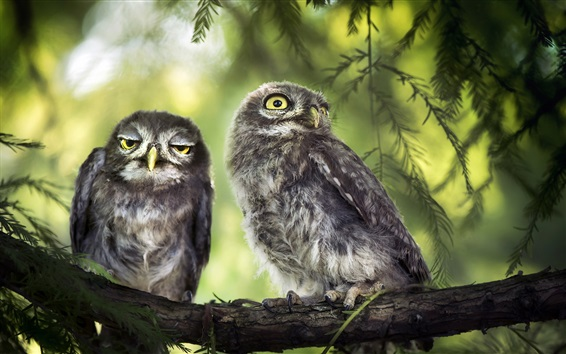 Papéis de Parede Dois pássaros, coruja, árvore