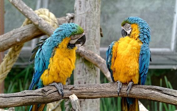 Wallpaper Two parrots, couple