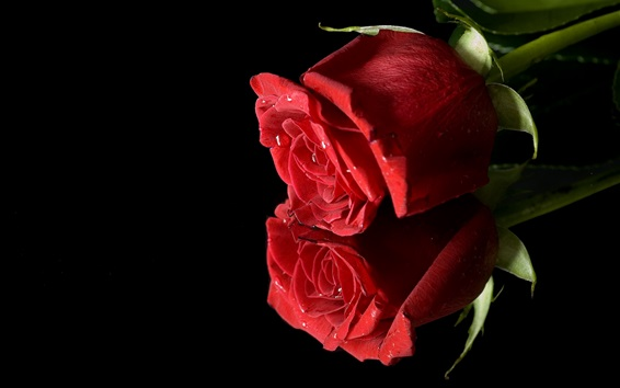 Wallpaper Two red roses, black background