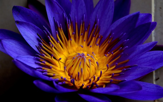 Wallpaper Water lily, blue petals, flower photography