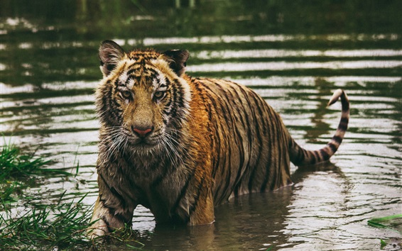 Wallpaper Wet tiger in water, look at you