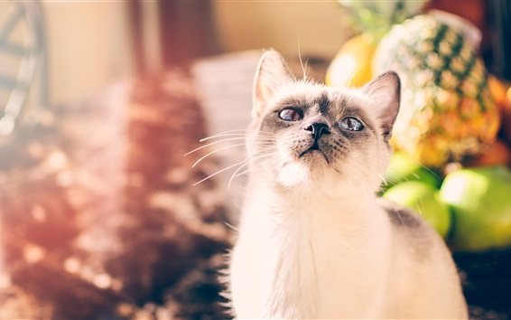 Hintergrundbilder Weiße Katze schaut auf, Gesicht, Augen