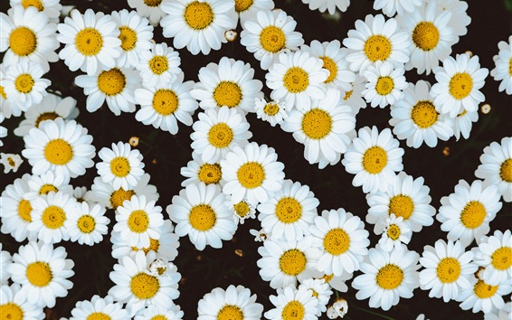 Wallpaper White daisies flowers background