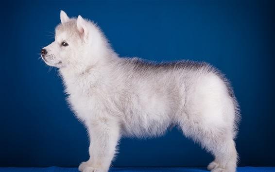 Papéis de Parede Vista lateral do cão branco, fundo azul
