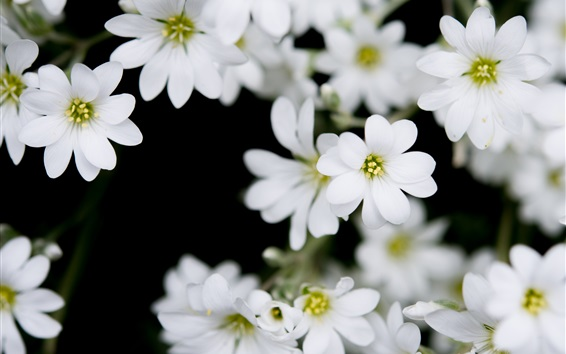 Wallpaper White little flowers close-up, bokeh