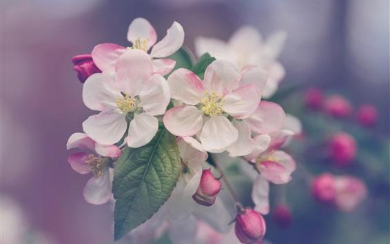 Fondos de pantalla Blanco pétalos de color rosa, las flores florecen en primavera